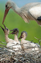 Mother stork with three babystorks Stock Photos