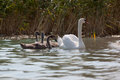 Mother Swan And Her Cygnets