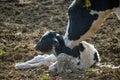 Matka tendenciu na jej novorodeniatko teľa na mliekareň