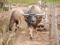 Mother water buffalo looking at viewer, with calf Royalty Free Stock Photo