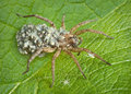Mother wolf spider with babies Royalty Free Stock Photo