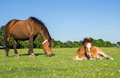 Mother and young foal brown laying on grass with horse Stock Photography