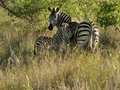 Mother zebra with young Stock Photos