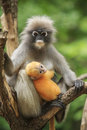 Motherhood of Dusky leaf monkey, Dusky langur in southern of tha Royalty Free Stock Photo