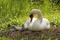 Mothering swan with two signets Stock Image