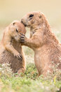 Motherly love female prairie dog displaying for her offspring Stock Photos