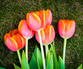 Mothers day tulips on green grass for the Royalty Free Stock Image
