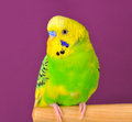 Motley budgerig parrot closeup perched on a stand of purple background Stock Photography