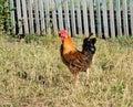 Motley Cock Stock Image