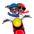 Motorbike couple of dogs at speed with helmet and crazy glasses Royalty Free Stock Images