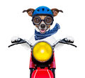 Motorbike dog at speed with helmet and crazy glasses Stock Photo