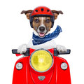 Motorcycle dog driving a motorbike with helmet at high speed Stock Photo
