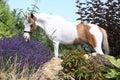 Mottle miniature horse in the garden american standing Stock Image