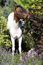 Mottle miniature horse in the garden american standing Royalty Free Stock Photography