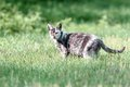 Mottled cat in the green grass beautiful standing Royalty Free Stock Photography
