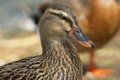 Mottled duck a close up of a female mallard Stock Images