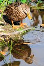 Mottled duck (dabbling duck) Stock Photography
