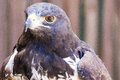 Mottled eagle from raptor world nearby plettenberg bay Royalty Free Stock Image