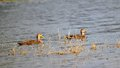 Mottled mallards dabbling ducks swimming in the water of a south florida lake on a golf course the or are medium sized Stock Photos