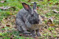 Mottled rabbit attentive on a meadow Stock Images