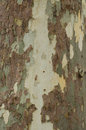 Mottled Sycamore Tree Bark And Trunk Background Or Texture, Close-up Royalty Free Stock Photo