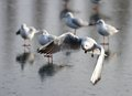 Mouette en vol Photographie stock