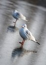 Mouette sur la glace Photo stock