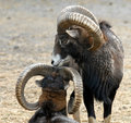 Mouflon love Stock Photography