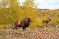 Mouflon male and fallow deers Royalty Free Stock Photo