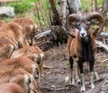 Mouflon Ovis orientalis very close-up photos, mammal Royalty Free Stock Photo
