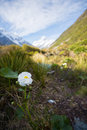 Mount cook lily flowers hooker valley aoraki mount cook nation national park Stock Photography