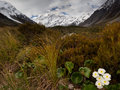 Mount Cook Lily and Mt Cook, Valley, New Zealand Royalty Free Stock Photo