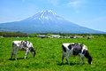 Mount Fuji with cows Royalty Free Stock Photo