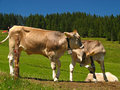 Mount Pilatus Cattle 01 Royalty Free Stock Photos