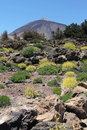 Mount teide on the island of tenerife the canary islands taken during spring when the wild flowers are on the lower slopes of the Royalty Free Stock Image