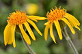 Mountain arnica flowers Stock Photography