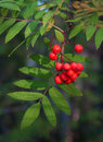 Mountain ash. Stock Image