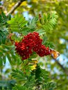 Mountain ash. Berries. Autumn. Stock Images