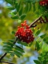 Mountain ash. Berries. Autumn. Royalty Free Stock Photography