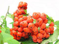Mountain ash berries on branch Stock Images