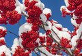 Mountain ash berries a branch of red covered in snow against a blue sky background Royalty Free Stock Image