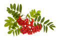Mountain ash berries bunch of red or rowan with green leaves isolated on white background Royalty Free Stock Photo