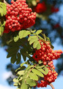 Mountain Ash branch with berries Stock Photo