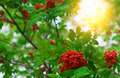 Mountain ash branch closeup Royalty Free Stock Photo