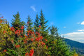 Mountain ash and fir needle in sutton canada Royalty Free Stock Images