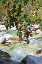Mountain-ash tree over creek Royalty Free Stock Photo
