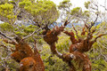 Mountain beech rain forest in Fjordland NP NZ Royalty Free Stock Photo