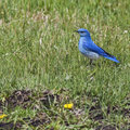 Mountain blue bird in grass bluebird sialia currucoides feeds the wet grassland the spring warm day Stock Photography