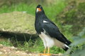 Mountain caracara Royalty Free Stock Photo
