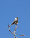 Mountain Chickadee Against Blue Sky Royalty Free Stock Photo